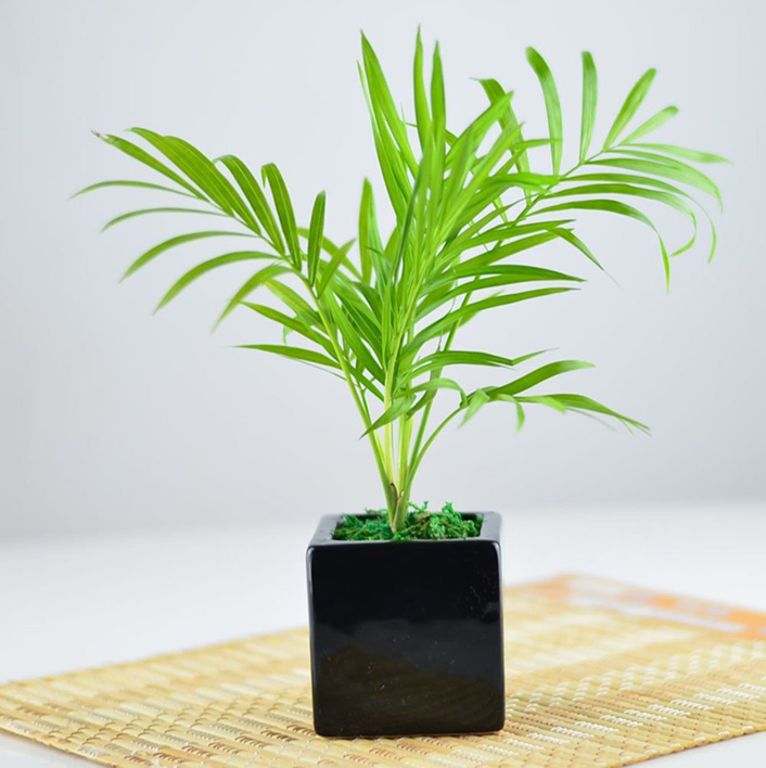 袖珍椰子图片_「袖珍椰子」的养护方法_北京绿普环宇花卉有限公司